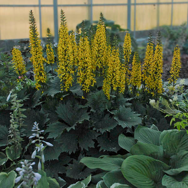 Ligularia 'Bottle Rocket' Photo courtesy of Walters Gardens, Inc