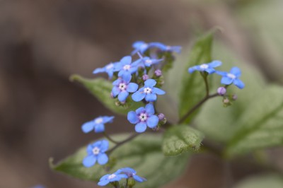 Brunnera macrophylla 'Looking glass' flowers photo courtesy of Bailey Nurseries