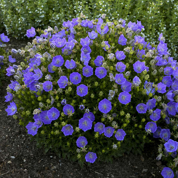 Campanula Rapido Blue Photo courtesy of Walters Gardens, Inc