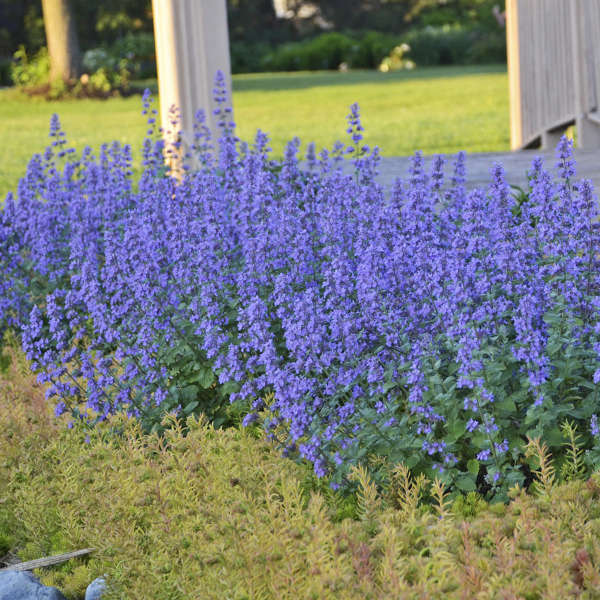 Nepeta 'Cat's Meow' Photo courtesy of Walters Gardens, Inc