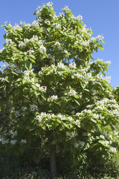 Catalpa Northern