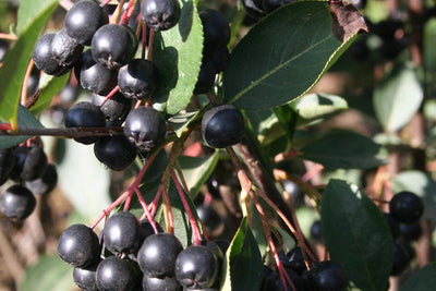 Chokeberry Glossy Black Photo courtesy of Bailey Nurseries Inc.
