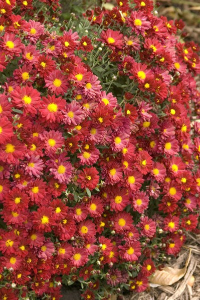 Mammoth 'Red' Daisy mum Photo courtesy of Bailey Nurseries