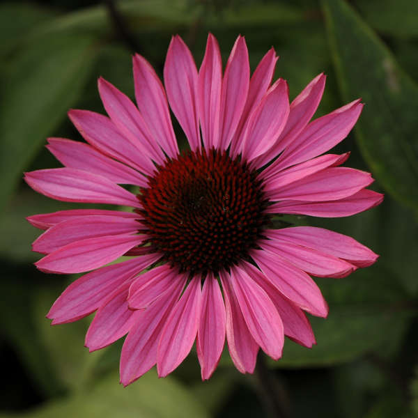 Coneflower Ruby Star  Photo courtesy of Walter Gardens Inc