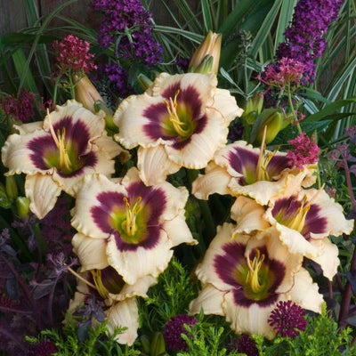 daylily-Blueberry candy flowers photo courtesy of Walters Gardens Inc