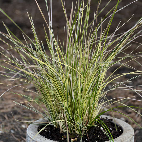 Grass-Deschampsia cespitosa 'Northern Lights', 1 gallon