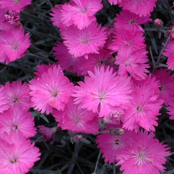dianthus firewitch Photo courtesy of Walters Gardens, Inc