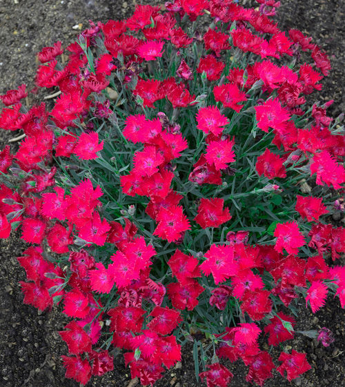 Dianthus 'Paint the Town Magenta',Photo courtesy of Proven Winners - www.provenwinners.com