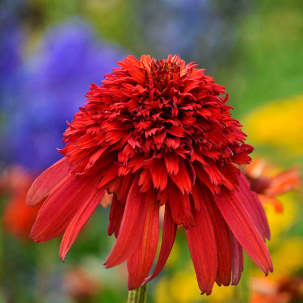 Echinacea-Coneflower 'Hot Papaya' Photo courtesy of Walters Gardens, Inc