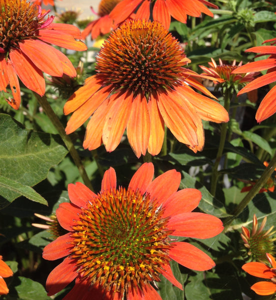 Echinacea 'Sombrero Adobe Orange' | Shop Stuart's