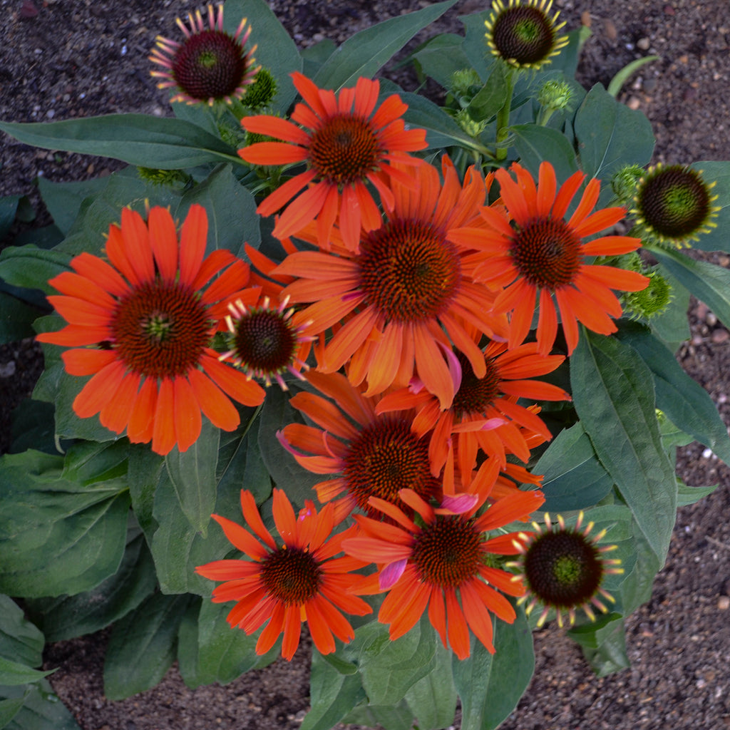 Echinacea Atomic Orange  Photo courtesy of Proven Winners - www.provenwinners.com