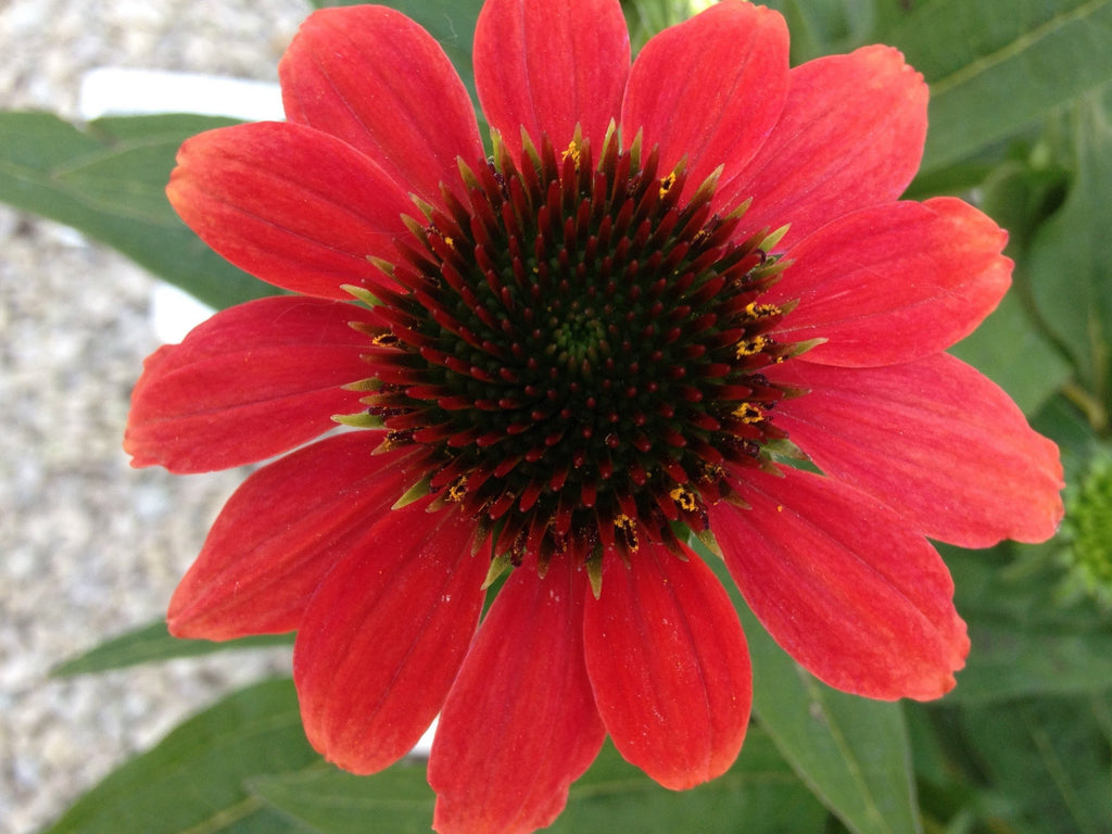 coneflower hot coral