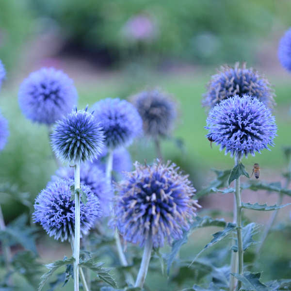 Echinops Blue Glow photo courtesy of Walters Gardens Inc