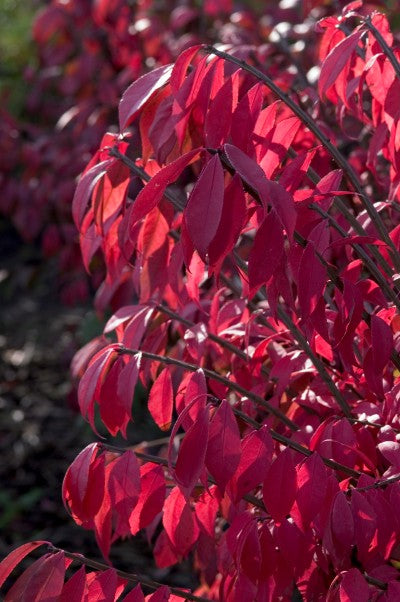 Burning bush compact red foliage photo courtesy of Bailey Nurseries