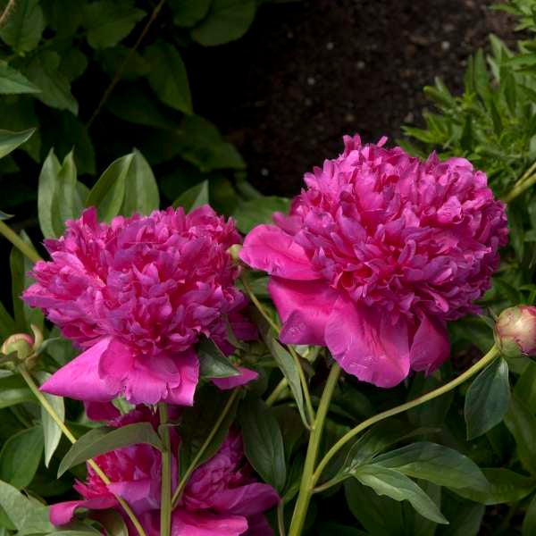 Felix Crousse Peony Photo courtesy of Walters Gardens