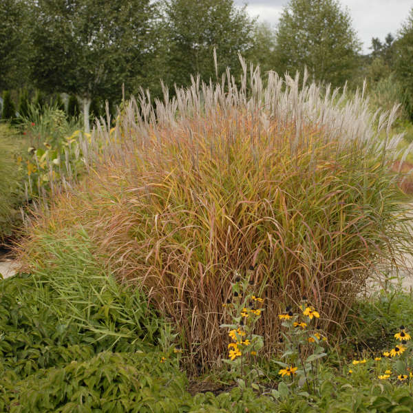 Miscanthus sinensis 'Pupurescens' Photos courtesy of Walters Gardens, Inc.