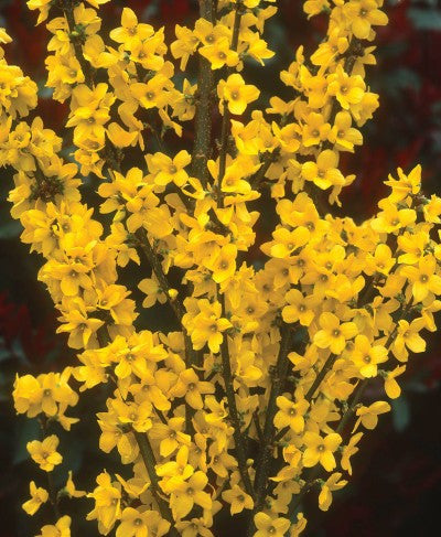 Forsythia Mindor Show Off photo courtesy of Proven Winners