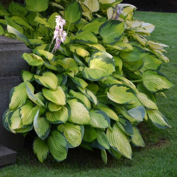 Gold Standard Hosta photo courtesy of Walters Gardens