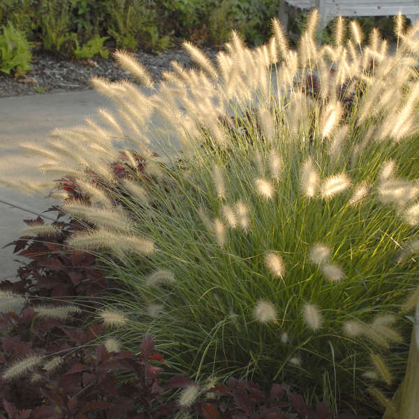 Grass-Pennisetum alopecuroides 'Hameln' Photo courtesy of Walters Gardens, Inc.