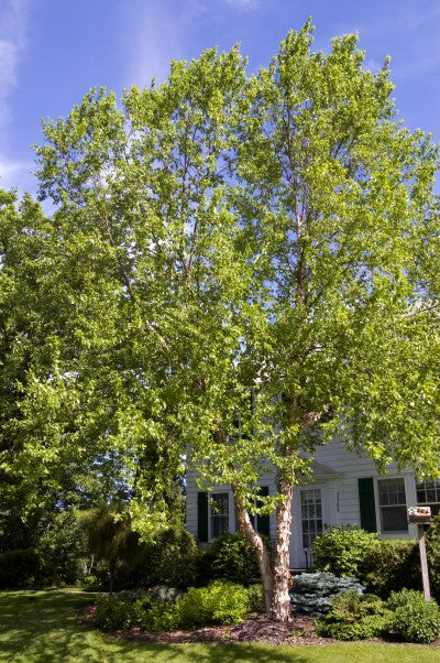 Birch Heritage Photo courtesy of Bailey Nurseries, Inc