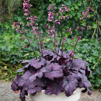 Heuchera-Coral bells 'Electric Plum, Photo courtesy of Walters Gardens, Inc
