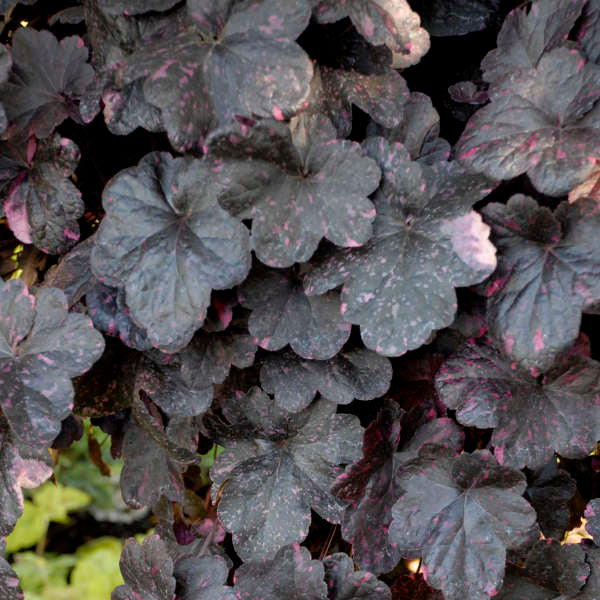 Heuchera Midnight Rose Photo courtesy of Walter Gardens, Inc