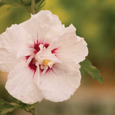Hibiscus 'Bali' photo courtesy of Bailey Nurseries