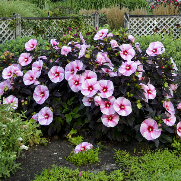 Hibiscus 'Starry Starry Night' Photo courtesy of Walters Gardens, Inc