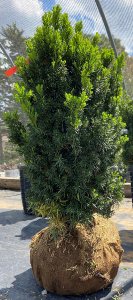 Hicksi Yew For Sale | Shop Stuart's
