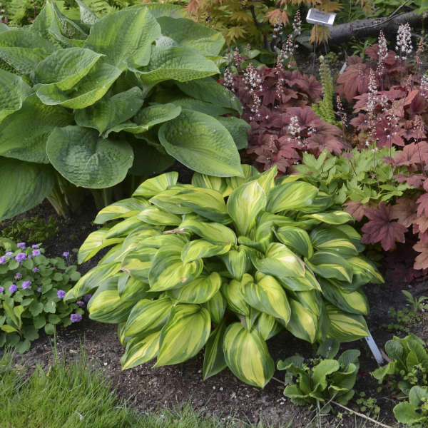 Hosta Rainbow's End Photo courtesy of Walters Gardens, Inc