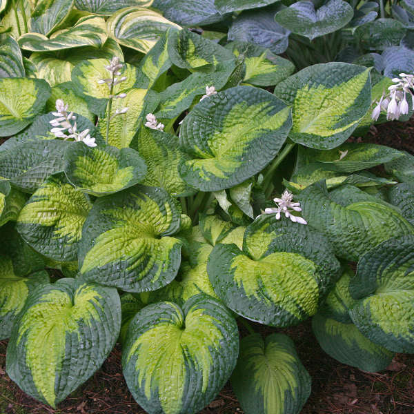 Hosta Brother Stefan Photo courtesy of Walters Gardens, Inc