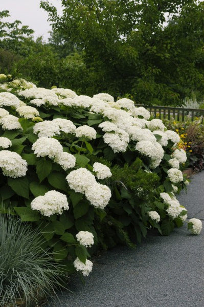 Hydrangea Annabelle photo courtesy of Bailey Nurseries
