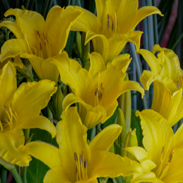hyperion daylily flowers photo courtesy of Walters Gardens Inc