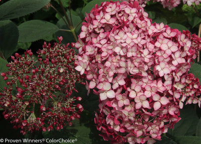 Hydrangea Invincible Ruby Photo courtesy of Proven Winners - www.provenwinners.com