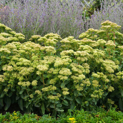 Sedum 'Lemonjade Photo courtesy of Walters Gardens