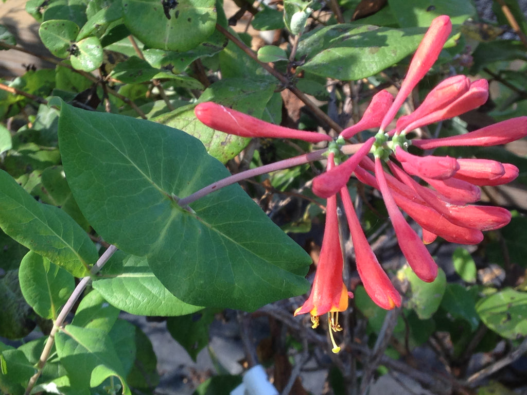 Honeysuckle Dropmore