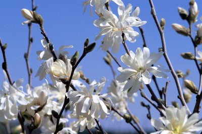 Royal star magnolia Photo courtesy Bailey Nurseries, Inc