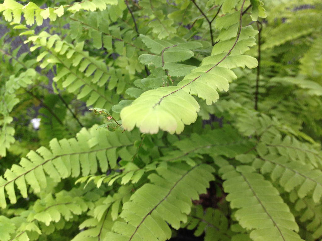 Fern-Maidenhair