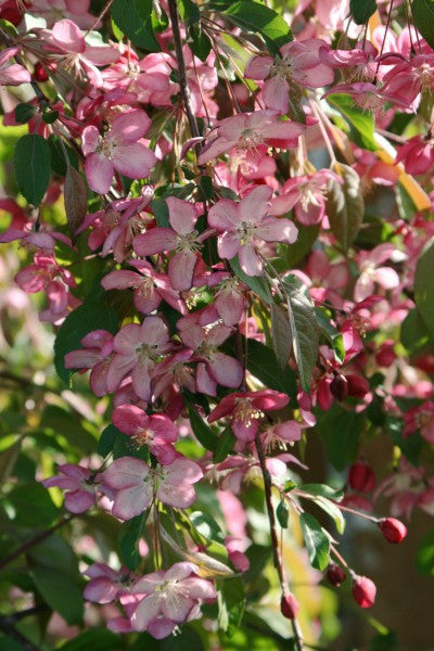 Crabapple Ruby Tears flowers Photo courtesy Bailey Nurseries