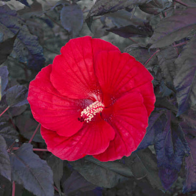 Hibiscus 'Midnight Marvel' Photo courtesy of Walters Gardens, Inc