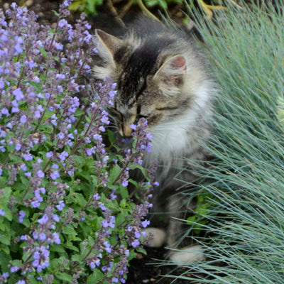 Nepeta Purrsian Blue with a cat by it Photo courtesy of Walters Gardens