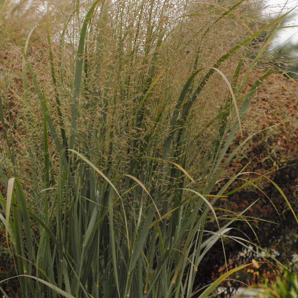 Northwind grass Photo courtesy of Walters Gardens, Inc