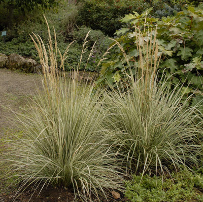 Calamagrostis × acutiflora 'Overdam'  Photo courtesy of Walters Gardens