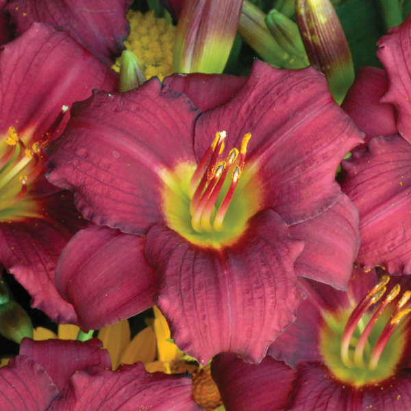 pardon me daylily flower photo courtesy of Walters Gardens Inc