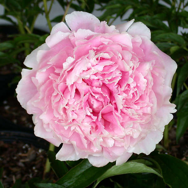 Peony 'Sarah Bernhardt' Photo courtesy of Walters Gardens, Inc