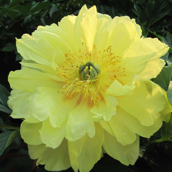 Peony 'Bartzella' photo courtesy of Walters Gardens, Inc