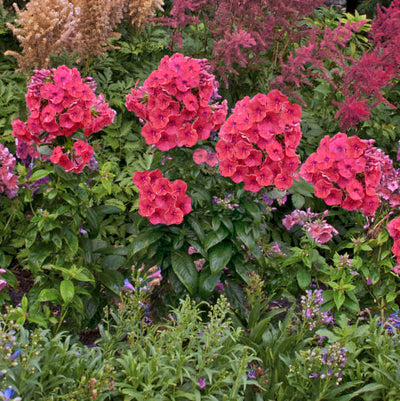 Phlox 'Flame Coral' Photo courtesy of Walters Gardens, Inc