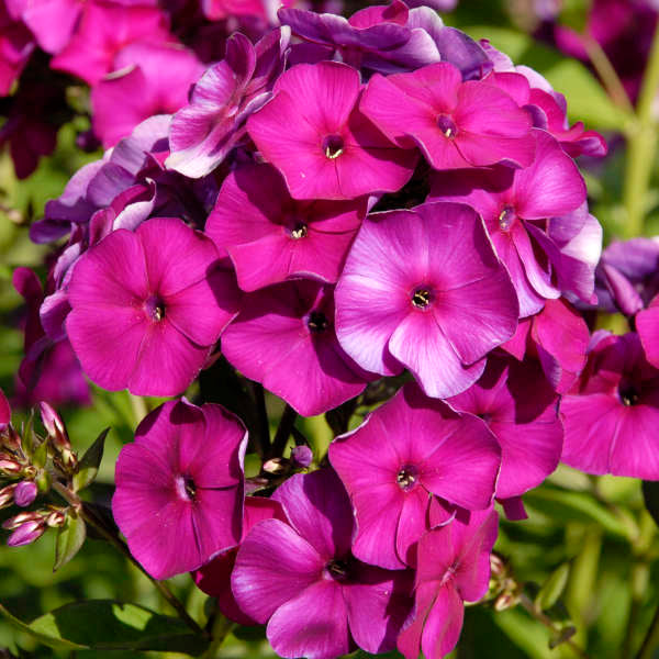 Phlox Nicky Photo courtesy of Walters Gardens, Inc