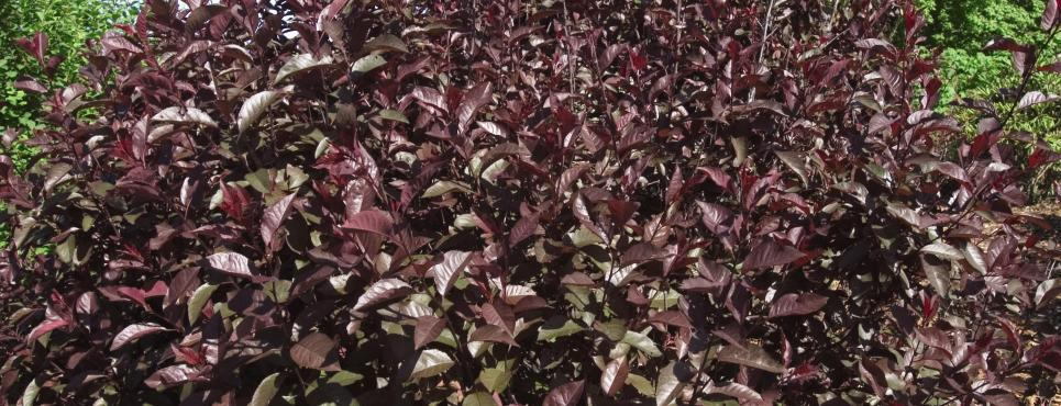 Sandcherry Purpleleaf photo courtesy of Bailey Nurseries