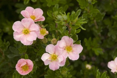 Pink Beauty Potentilla photo courtesy of Bailey Nurseries